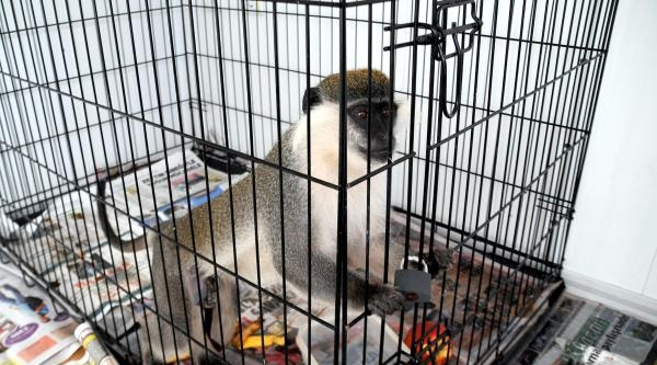 Bodrum'un Kaçak Maymunu Yakalandı
