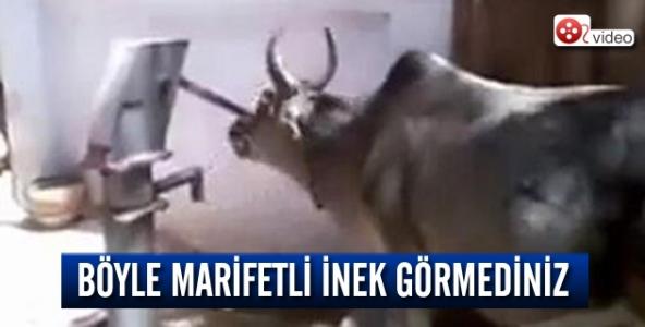 Böyle  marifetli inek görmediniz!