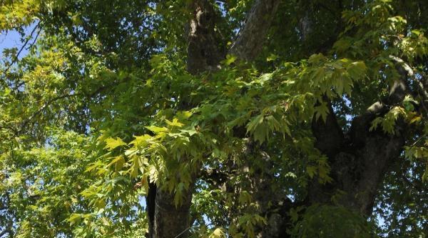 Bu Çinar Ağacı 1500 Yaşında