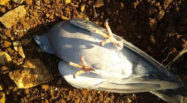 Bu Güvercin Ölü Taklidi Yapiyor