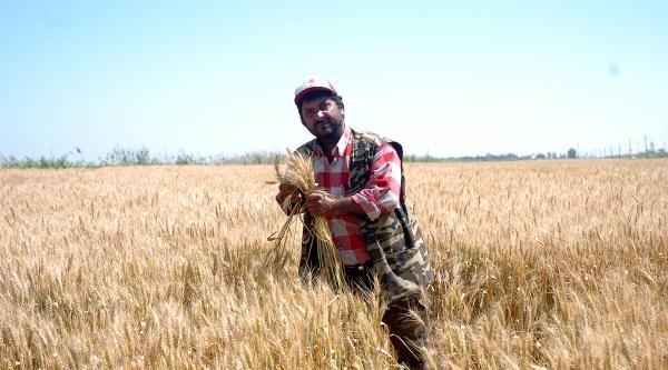 Buğdayda Hasat Yüzde 20 Rekolte Kaybıyla Başladı