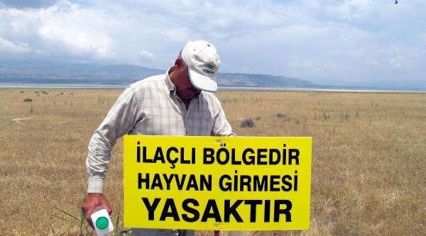 Burdur'da Çekirgeler Ekili Alanları İstila Etti