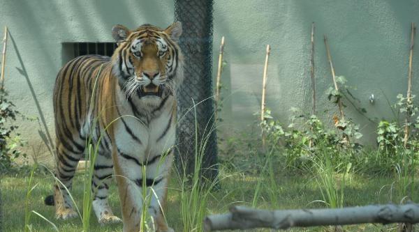 Bursa Hayvanat Bahçesi'ne Almanya'dan İki Sibirya Kaplanı