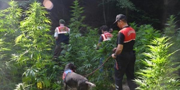 Bursa'Da Jandarma 10 Ayda 345 Kilo Esrar Ele Geçirdi