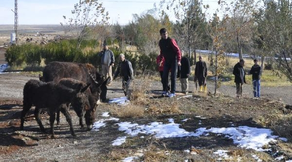 Buz Tutan Eşekler Tekirdağ'A Gönderildi