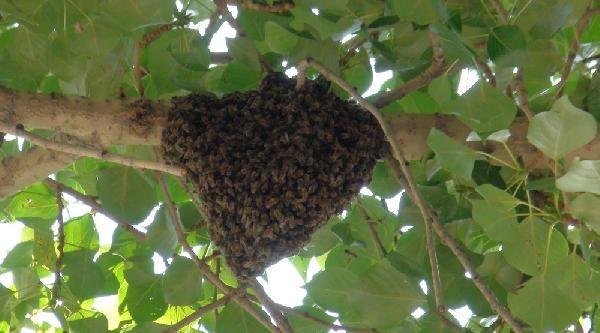 Caddede Ağaçtaki Arılar, Esnafı Korkuttu
