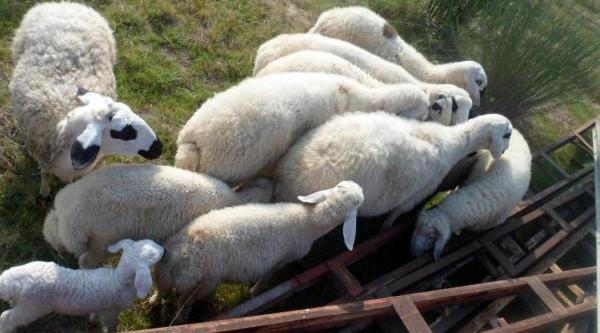 Çalinan Koyunlarina Kavuştu