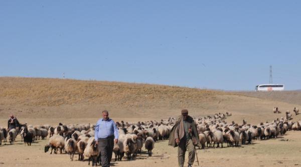 Çay Kurudu, Hayvanları Murat Nehri'ne Götürüyorlar