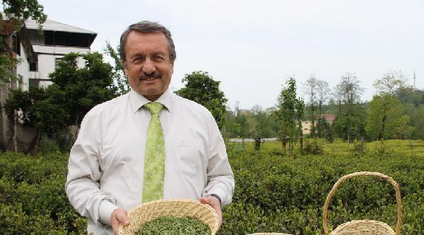 Çaykur, 70 Kilo Beyaz Çay Üretti