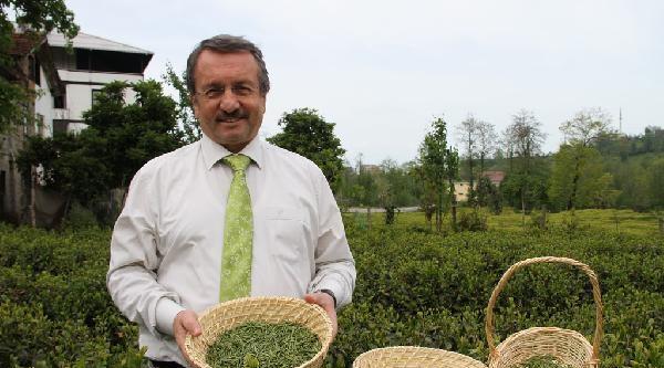 Çaykur, Kilosu 5 Bin Liraya Satılan Beyaz Çay Üretimine Başlıyor