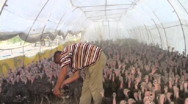 Çiftlikte 2500 Hindiye Çobanlik Yapıyor