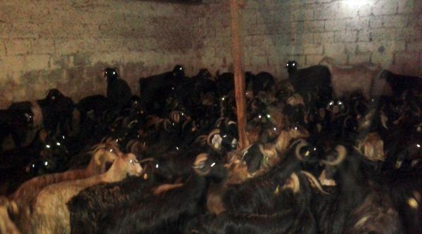 Çobani İlaçli Meyve Suyu İle Uyutup 279 Küçükbaş Hayvanı Çaldilar