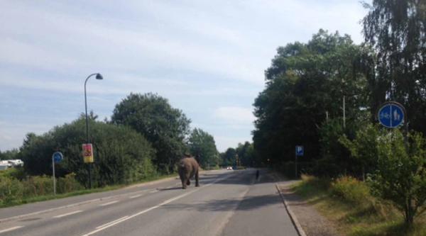 Danimarka'da Filler Sirkten Kaçtı