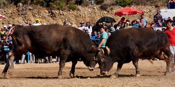 Datça'da Boğalar Çeşme Için Güreşti