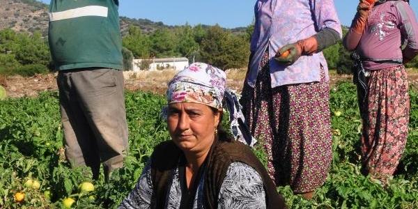 Datça'Nin Güz Domatesi Üreticinin Yüzünü Güldürdü