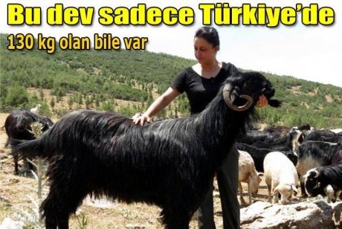 Dev keçi sadece Türkiye'de...