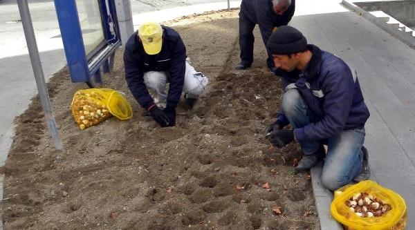 Develi'Ye 20 Bin Lale Soğani Ekildi