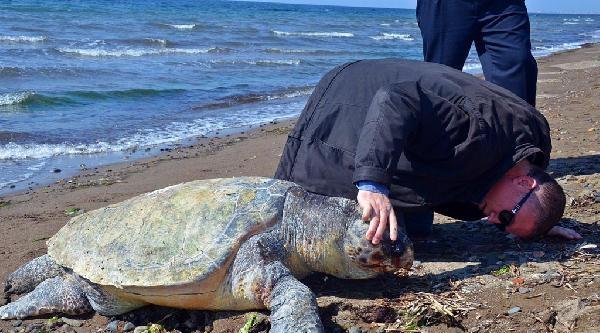 Dikili'de Ölü Caretta Caretta Kıyıya Vurdu