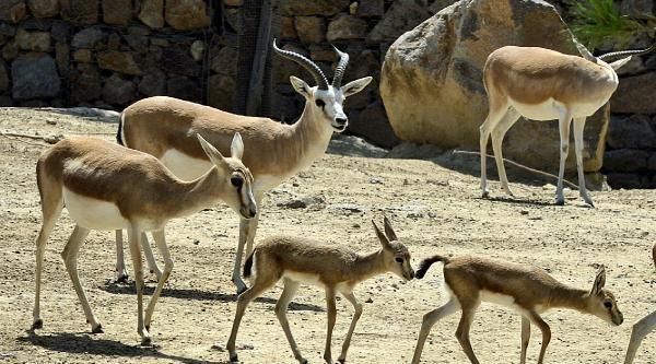 Doğal Yaşam Parkı'nın Ceylan Sürüsü