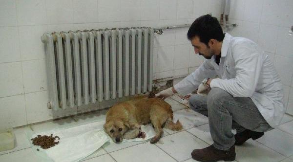 Doktorlar, Kazada 2 Yavrusu Ölen Köpeğe Sahip Çikti