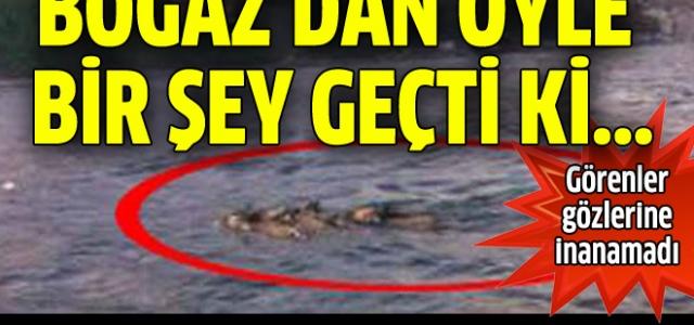 Domuz sürüsü Boğaz'ı yüzerek geçti!