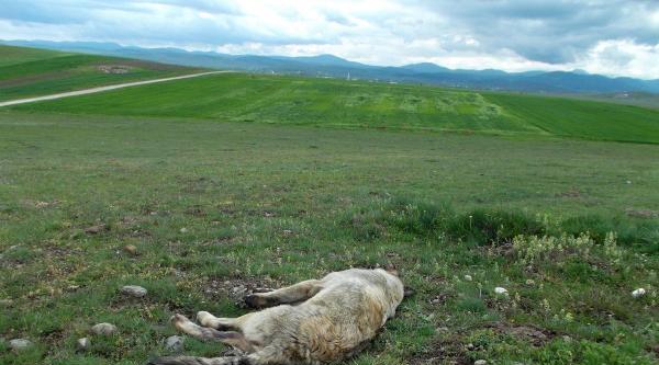 Dörtdivan'da Köpekler Tüfekle Öldürüldü