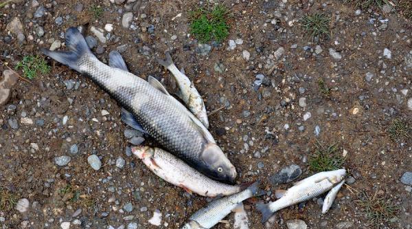 Düzce'de Çayda Balıklar Telef Oldu