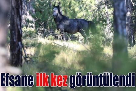 Efsane Osmanlı atları ilk kez görüntülendi!