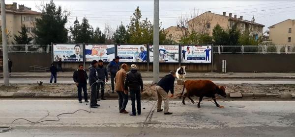 Elektrik Akimina Kapilan Ineği Kurtarma Operasyonu