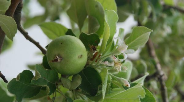 Elma Ağacı Çiçek Açtı