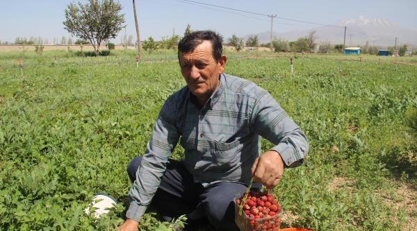 Erciyes Eteklerinde Yetişen Organik Reçellik Çilek Hasatı Başladı