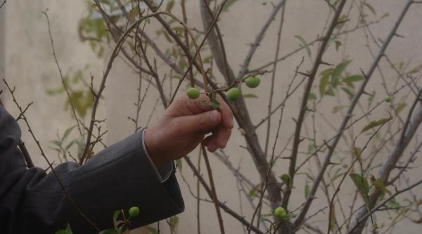 Erik Ağaci Meyve Verdi