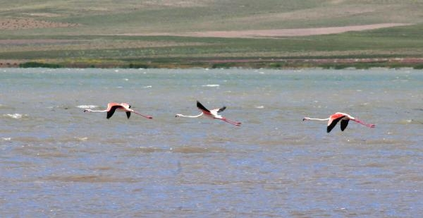 Flamingolar Van'ı Sevdi