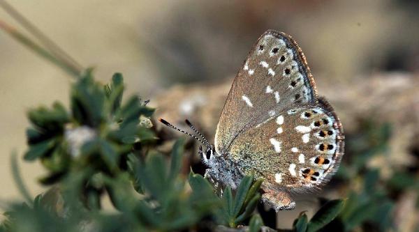 Fotoğrafını Çektiği Yeni Tür Kelebeğe Adı Verildi
