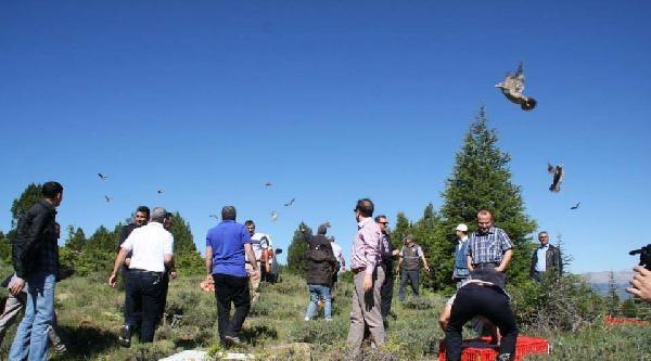 Göksun'da 750 Kınalı Keklik Doğaya Bırakıldı