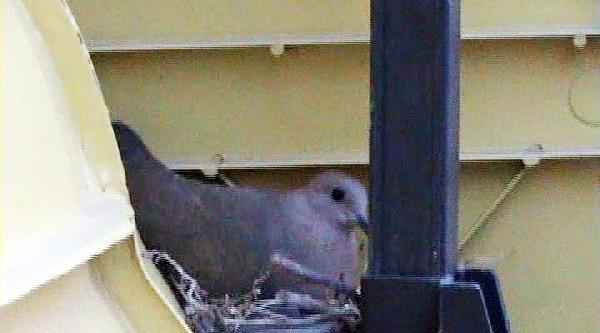 Güvercin Tır'ın Dorsesine Yuva Yaptı; Sürücü Kontak Kapattı