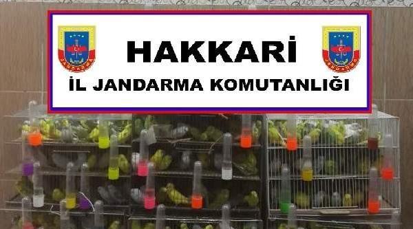 Hakkari'de Yurda Kaçak Sokulan 700 Muhabbet Kuşu Ele Geçirildi