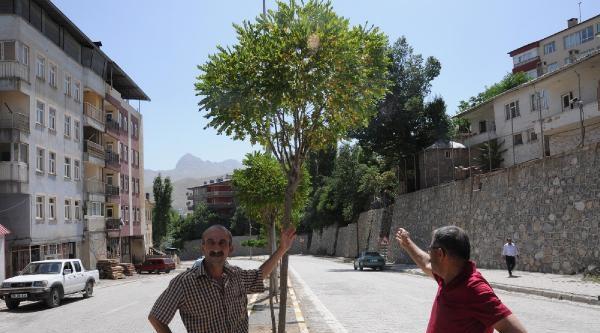 Hakkari'deki Ağaçların Kuruması Tartışmaya Neden Oldu