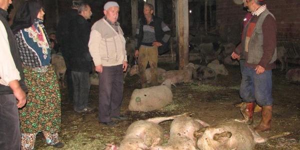 Hasat Edilen Misir Tarlasinda Otlayan Koyunlar Hastalaninca Kesildi