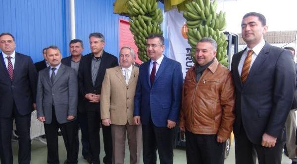 Hatay Büyükşehir Belediye Başkan Adayi Ergin, Muz Hasadinda