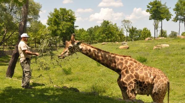 Hayvanat Bahçesinde, Zürafaların Beslenme Saati