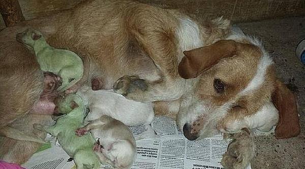 İspanya'da Yeşil Doğan Köpek Yavruları Şaşkinlik Yarattı