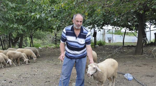 İzmit'in Köylerinde Salgın Hastalık Koyunları Telef Ediyor
