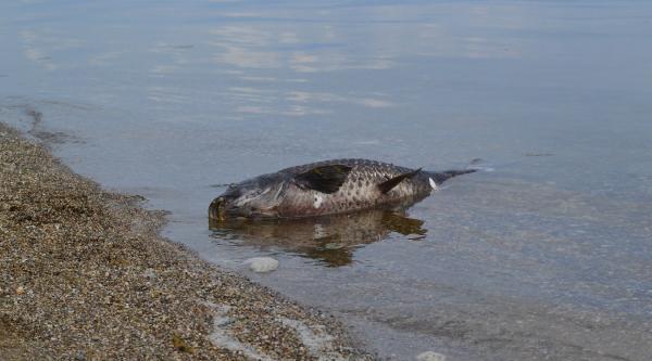 İznik Gölü'nde Korkutan Balık Ölümleri