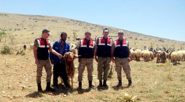Jandarma Kaybolan 250 Koyunu Buldu