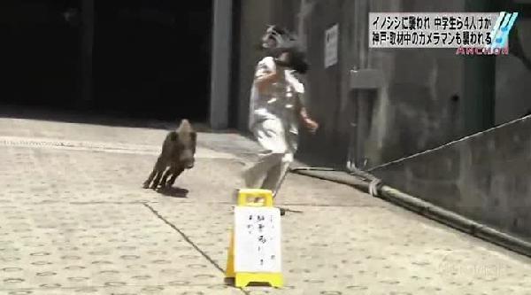 Japonya'da Şehre İnen Yaban Domuzu Böyle Dehşet Saçtı