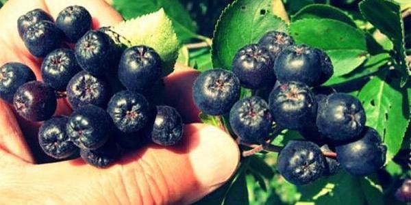 Kalp Hastalarina Tavsiye Edilen Bitki; Aliç