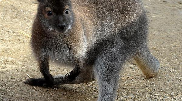 Kanguru 'şansli'Ya Büyük Ilgi