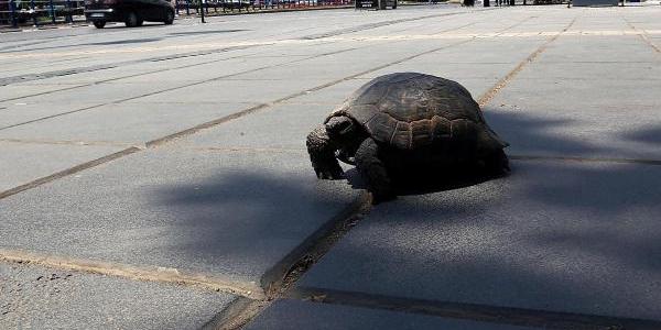 Kaplumbağanin Meydan Geçişi