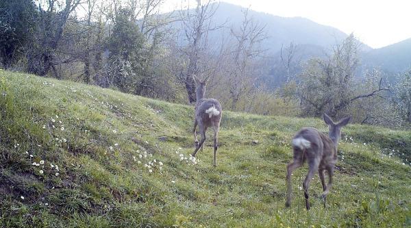 Karabük'te Yaban Hayatı Fotokapanla İzleniyor